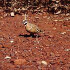 spinifex pigeon - Pilbara by gaylene
