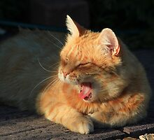 Ginger cat yawning on garden path by turniptowers