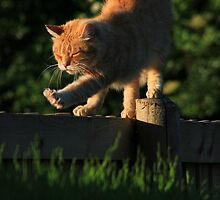 Ginger cat stretching on garden fence by turniptowers