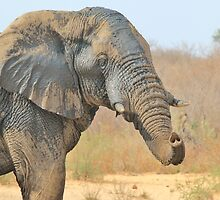 Elephant Bull - Beautiful Mud - African Wildlife by LivingWild