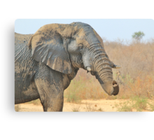 Elephant Bull - Beautiful Mud - African Wildlife Canvas Print