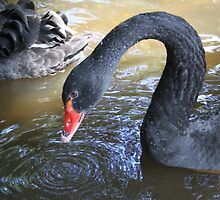 Black Swan by Jo Nijenhuis