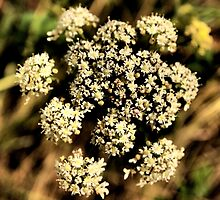 Cow Parsley by Katherine Womack
