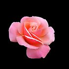 Tender Pink Rose on Black Background by kathrynsgallery
