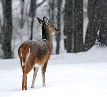 Snowy White-tailed Deer by Christina Rollo