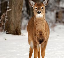 White-Tailed Deer in Snow by Christina Rollo