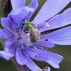 Sweat Bee on Wildflower by Sheryl Hopkins