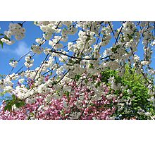 Blue Sky and Beautiful Blossoms Photographic Print