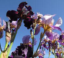 Iris's by photroen