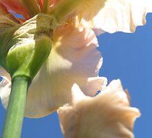 Beautiful Peach Bearded Iris Against a Sapphire Sky by photroen