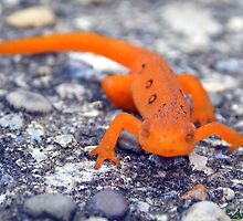 Red Spotted Eft is Not Amused by AGreenGirl