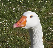 Goose on the meadow by spetenfia