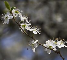 white flowers in spring by spetenfia