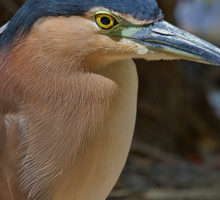 Nankeen or Rufous Night heron Sticker