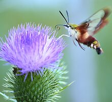 Hummingbird Clearwing Moth by Laurie Minor