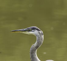 Profile of a Great Blue Heron by Josef Pittner