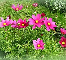 Cosmea by ©The Creative  Minds