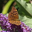 Rare and beautiful - Silver Washed Fritillary by Rivendell7