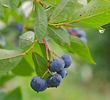 Fresh Blueberries by Maria Dryfhout