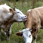 Bovine Buddies by Kevin Hayden