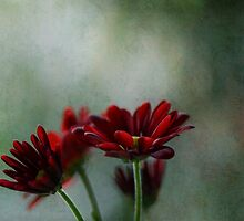 Cayenne Red Chrysanthemums by gmws