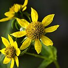 Nodding Bur Marigold Wildflowers by Christina Rollo