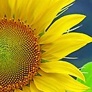 An eccentric sunflower! by jozi1