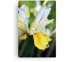 Iris hollandica Canvas Print