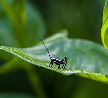 Small black cricket on leaf by jordanrusev