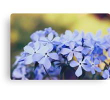 Phlox divaricata flowers Canvas Print