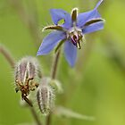 Borage Wildflower - Borage officinalis - Annual Herb by MotherNature