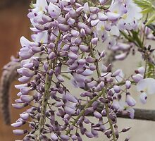 white wisteria in spring by spetenfia