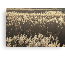 Norfolk Reeds Canvas Print
