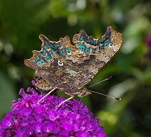 Comma Butterfly by MikeSquires