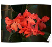 Flame coloured Vireya in my garden........! Poster