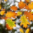 Bright autumn oak leaves on tree by Karol Franks