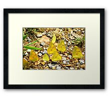 The Butterfly Gathering.. Framed Print