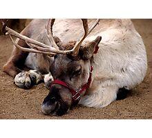 Reindeer waiting for Santa, Happy waiting Photographic Print