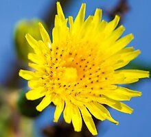 Daffodil by michaelgeddes