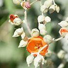 Orange Fendler's Globemallow; Sphaeralcea Fendleri; Along the Arizona & California Border by leih2008