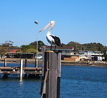 Pelican looking for dinner Yamba NSW Aust  by Margaret Morgan (Watkins)