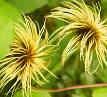 Clematis After The Blooms by WildestArt