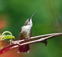 Hummingbird Look Out by Christina Rollo