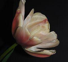 Apricot Tulip by RubyThiessen