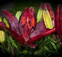 Red Lily by Steve Purnell