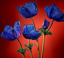 Blue poppies aganst red by Benjamin Gelman
