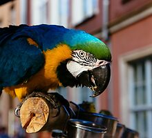 Blue Macaw by PatiDesigns