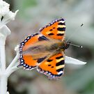 Painted Lady Butterfly by JohnYoung