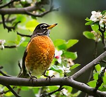 American Robin - Nature's Alarm Clock by Christina Rollo