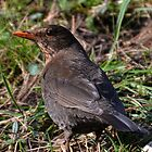 Female Blackbird by lynn carter